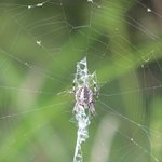 One of many different species of spider in the park