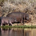 Hippos in Kruger