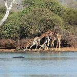 Kruger wildlife - Giraffe's drinking