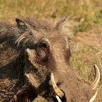 Kruger wildlife - warthog