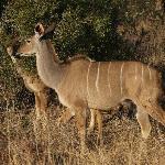 Kruger wildlife - Kudu