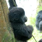 this small 3 month old Mountain gorilla played blissfully with a pace of us; Dad sat by ambivale