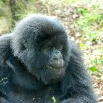 we had a brilliant Mountain gorilla trek with the Umubano family of 14 in an open glade