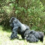 Charles the Umubano family silverback on the move with his youngsters