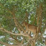 up, alert, assessing a potential warthog meal ... tree climbing lioness