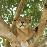 a fully alert tree climbing lioness & we were positioned 6m below her