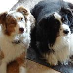 Roni's sweet and well behaved Aussies at the Inn at Ellsworth