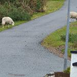 Sheep on the driveway