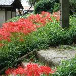 lycoris in September