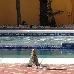 Tame iguana
