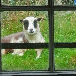 Friendly Shetland sheep