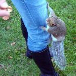 gli scoiattoli londinesi