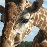 Up-Close Giraffe