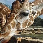 Giraffe feeding on carrot from mouth