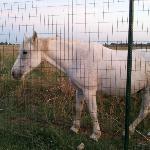 A curious and friendly Camargue Horse