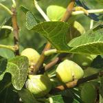 Ripe figs - delicious