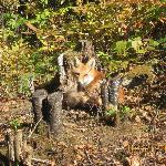 The resident red fox