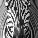 Zebra CLose Encounter