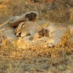Lion cubs napping