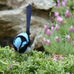 Superb Blue Fairy Wren in Pelican Bay B&B's garden