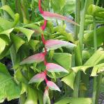 Heliconia chartacea, sexy pink