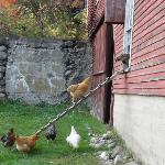 it's 5:00 pm, time to go home say the friendly chickens!