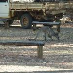 Wallabies on the grounds