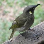 lewin's honey eater at blackbean cottage