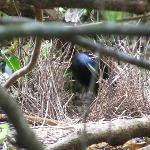 bower bird in its bower just off Paul's driveway diagonal from the games room