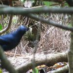 satin bower bird just about to go into the bower
