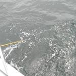 This pic is of Roy Eise, just about to pull his first Large Yellow Fin Tuna in. It's almost ther