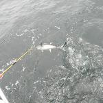 This is Roy's fist catch of Yellow Fin Tuna! What a fight it put up, but Roy wasn't giving up.