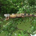 iguana at The Grand Mayan