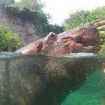 Bassin aux Hippopotames