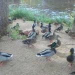 Feeding the ducks in the morning