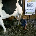 Milking the cow!