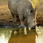 white rhino drinking at watering hole
