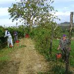Bei der Weinlese - Umberto hier im Vordergrund (rechts) zu sehen