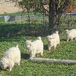 Austin's Mohair Goat Farm - I loved seeing the little goats, so friendly!