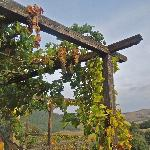 grape vines on pergola