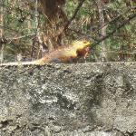 One of the lizards seen in the gardens