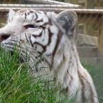Cross-eyed white tiger