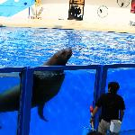 Giant sea lion, much bigger than its trainer but still capable of interesting tricks