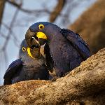 Hyacinth Macaws outside our bedroom