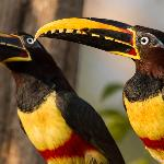 Chestnut eared Aracari at the water fountain