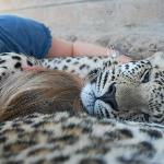 Falling asleep with the leopards