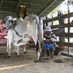 Die Kälber dürfen trinken während die Kühe gemolken werden.