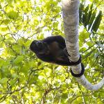 Ein Brüllaffe im Curu Nationalpark