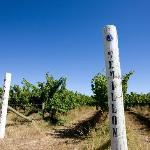 Cape Jaffa vineyard before 2012 vintage