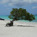 Divi tree on Eagle Beach